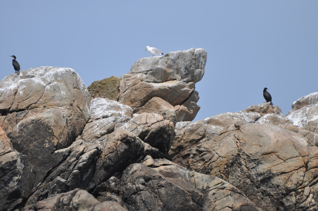 Goéland argenté entre deux cormorans huppés