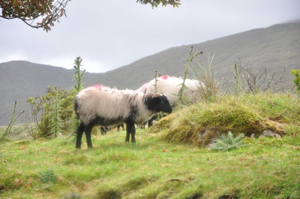 Mouton broutant de bon appétit