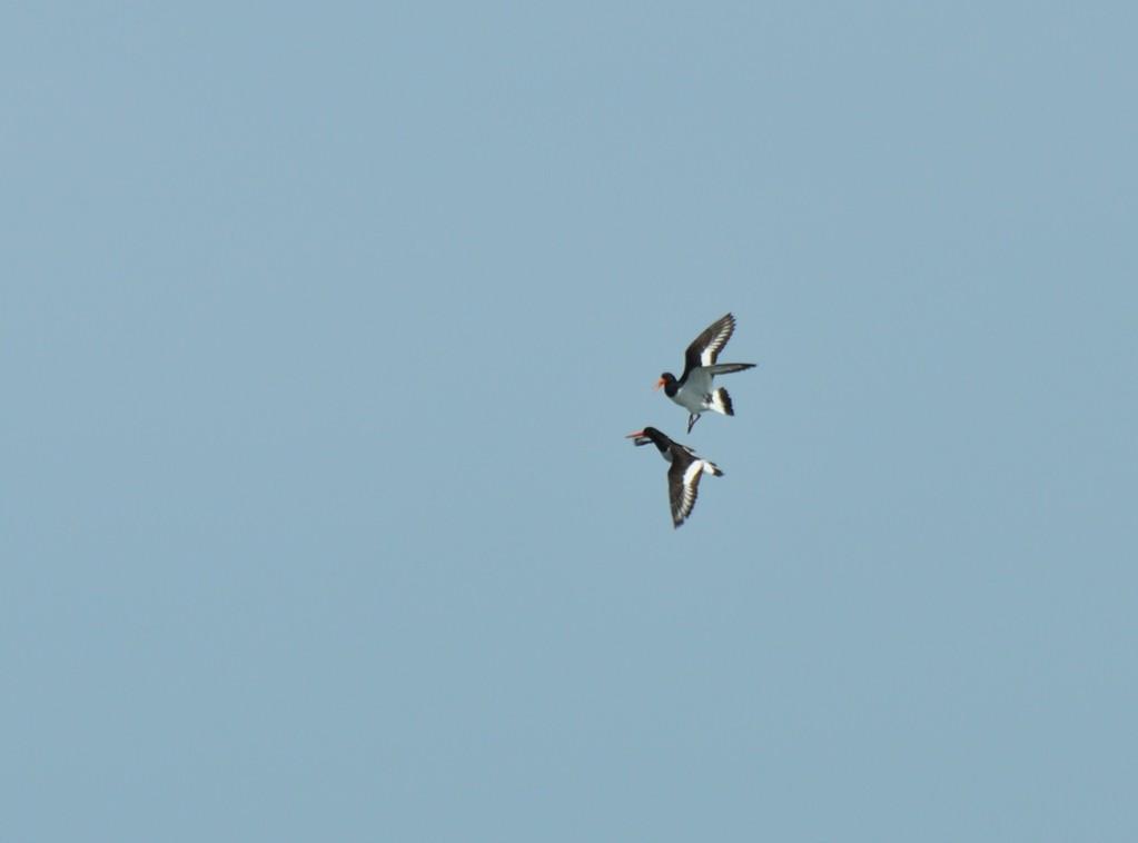 Huîtriers-pies dans le ciel