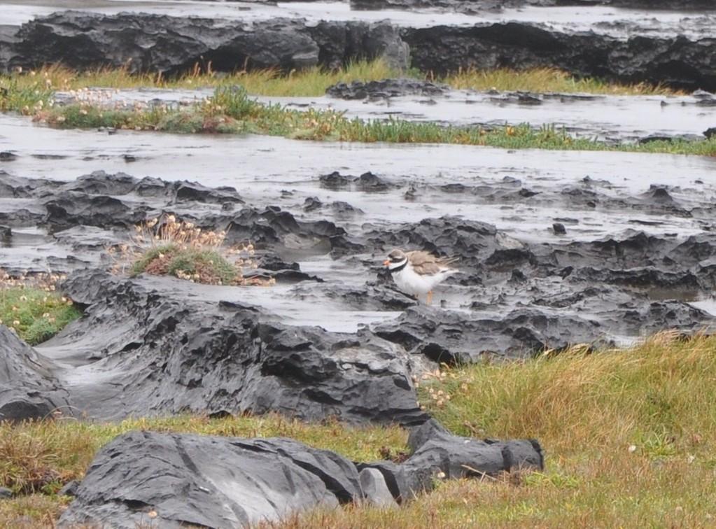 Gravelot au milieu des rochers