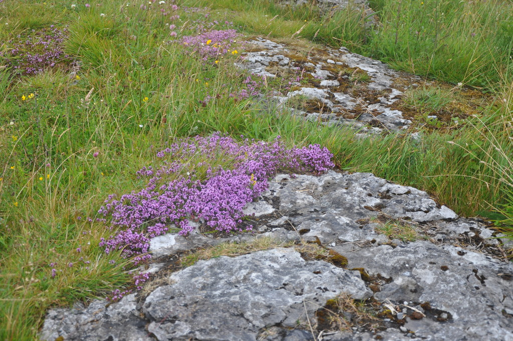 """Fleurs de Burren (""""pays pierreux"""" en gaélique !)"""