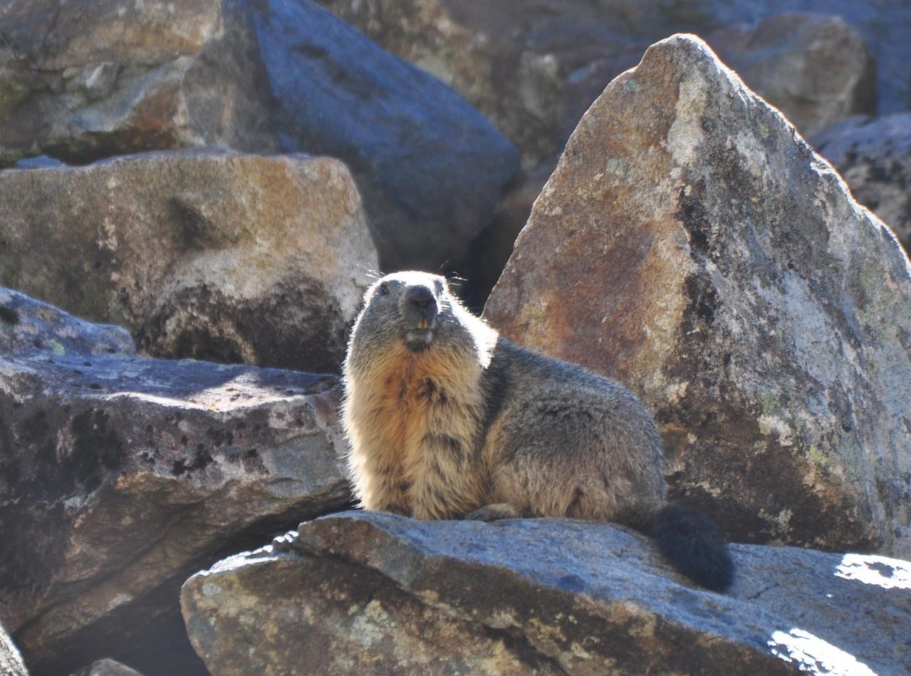 Marmotte (Piau Engaly, Hautes-Pyrénées)  Octobre 2012