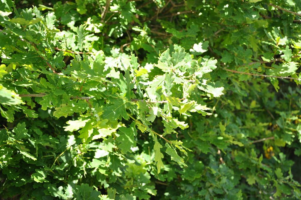 Feuilles de chêne au soleil