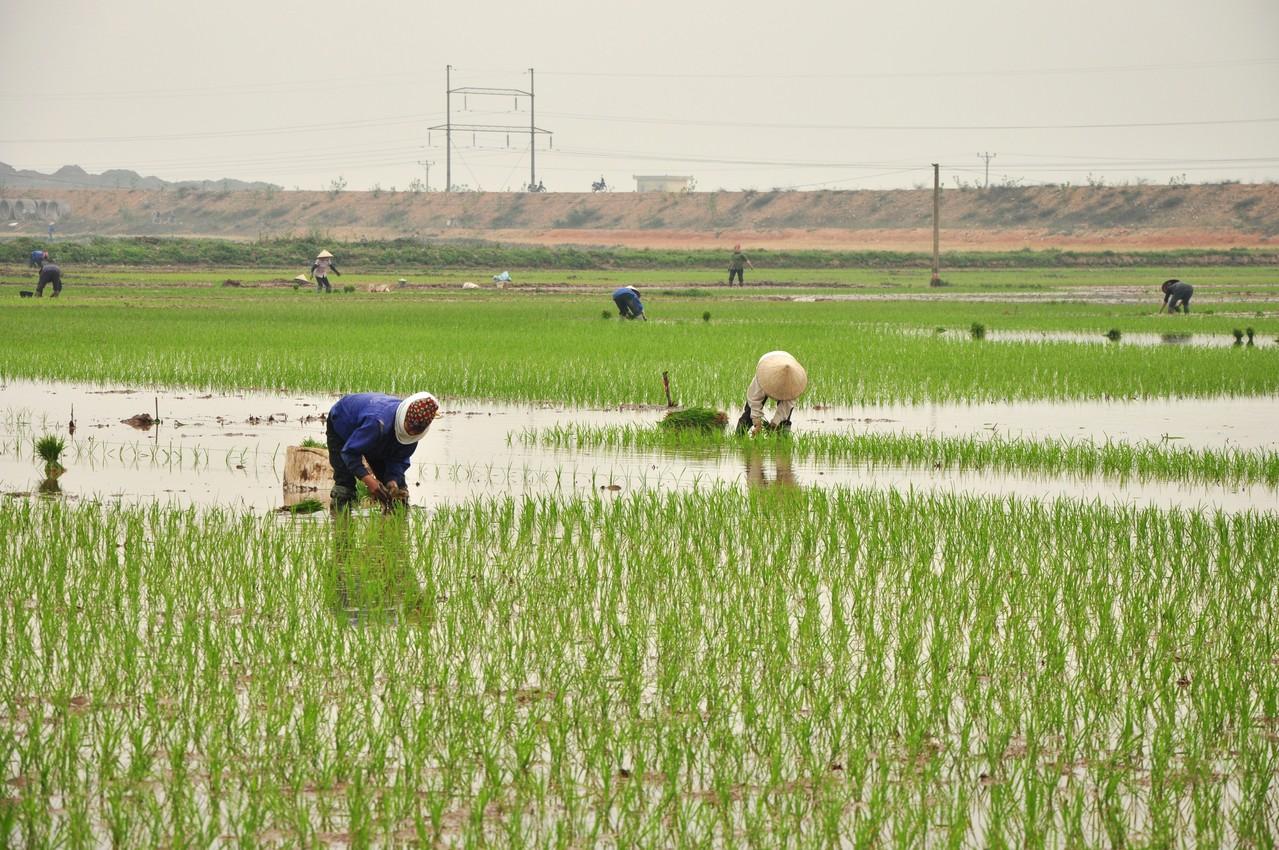 Sur la route de Hanoï : rizière