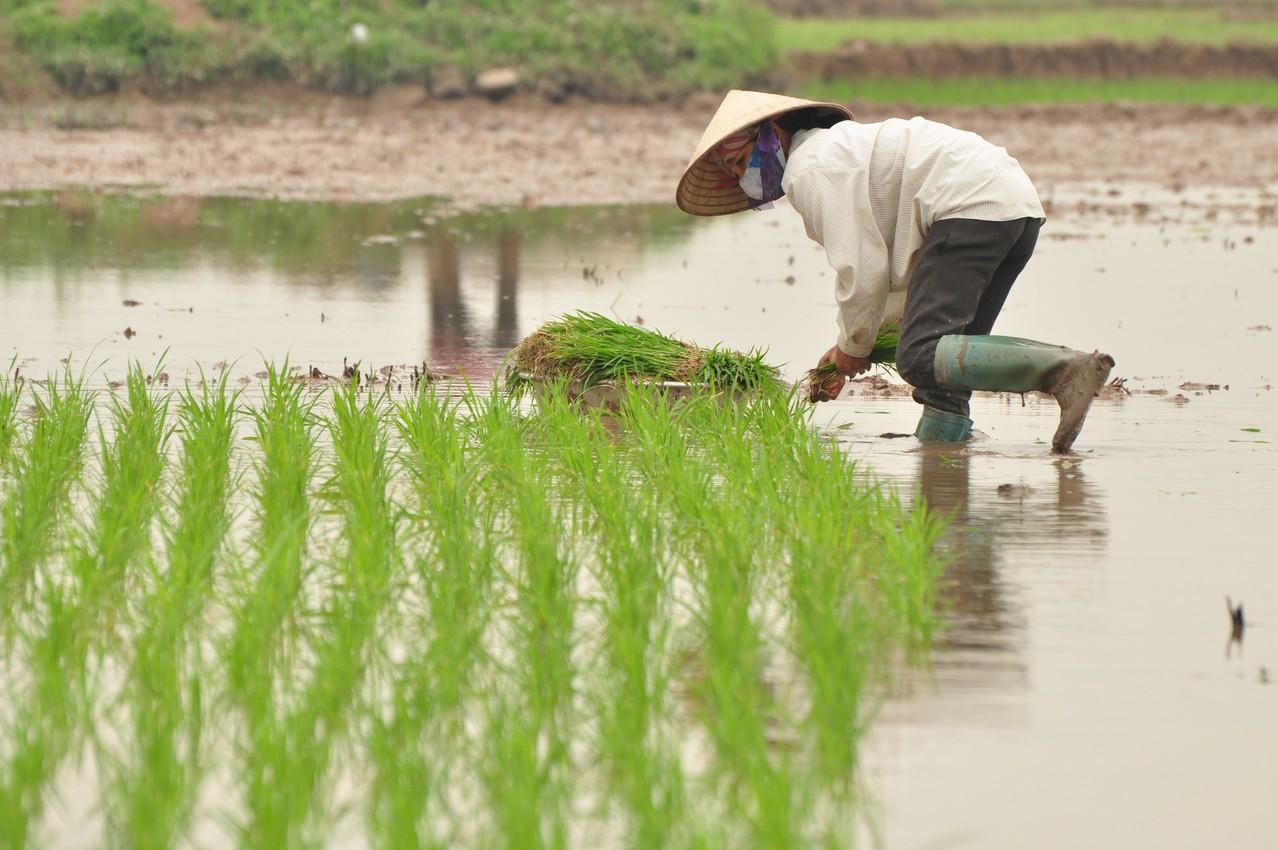 Sur la route de Hanoï : repiquage du riz