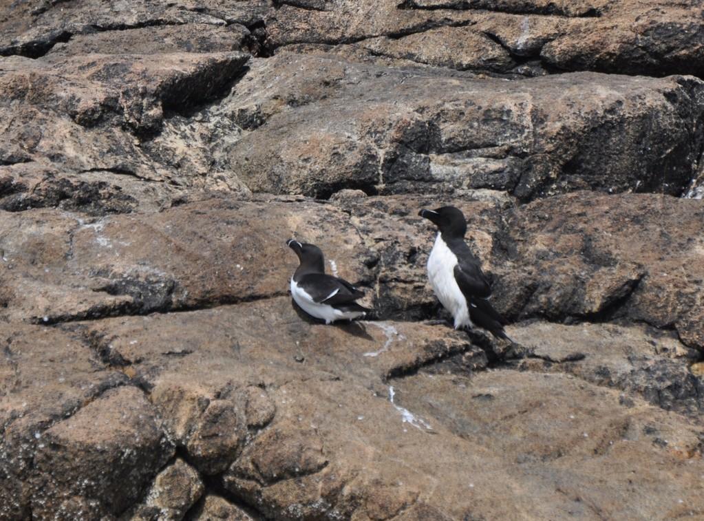Pingouins torda sur l'île Malban