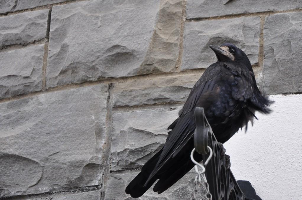 Corbeau freux accueillant les touristes à l'embouchure du Shannon