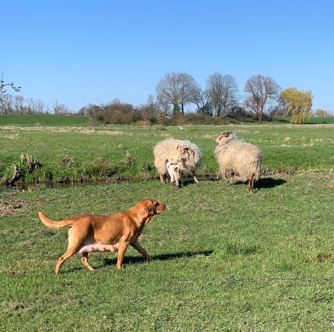 We laten Rosa alleen op eigen weiland uit. Nog even niet op plaatsen waar andere honden lopen.