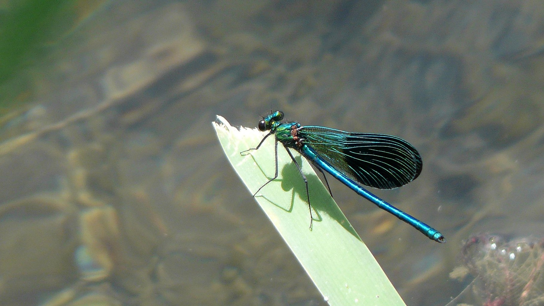 Calopteryx occitan