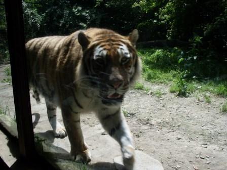forse una tigre...