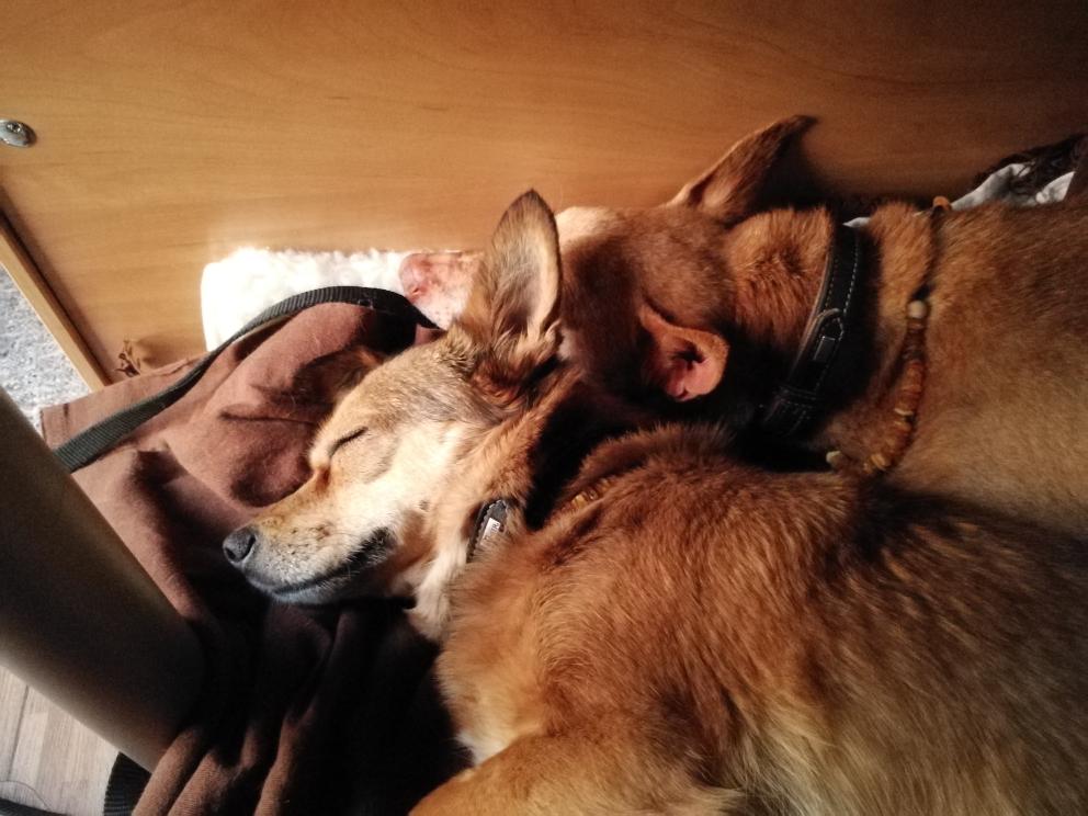 müde Camperhunde