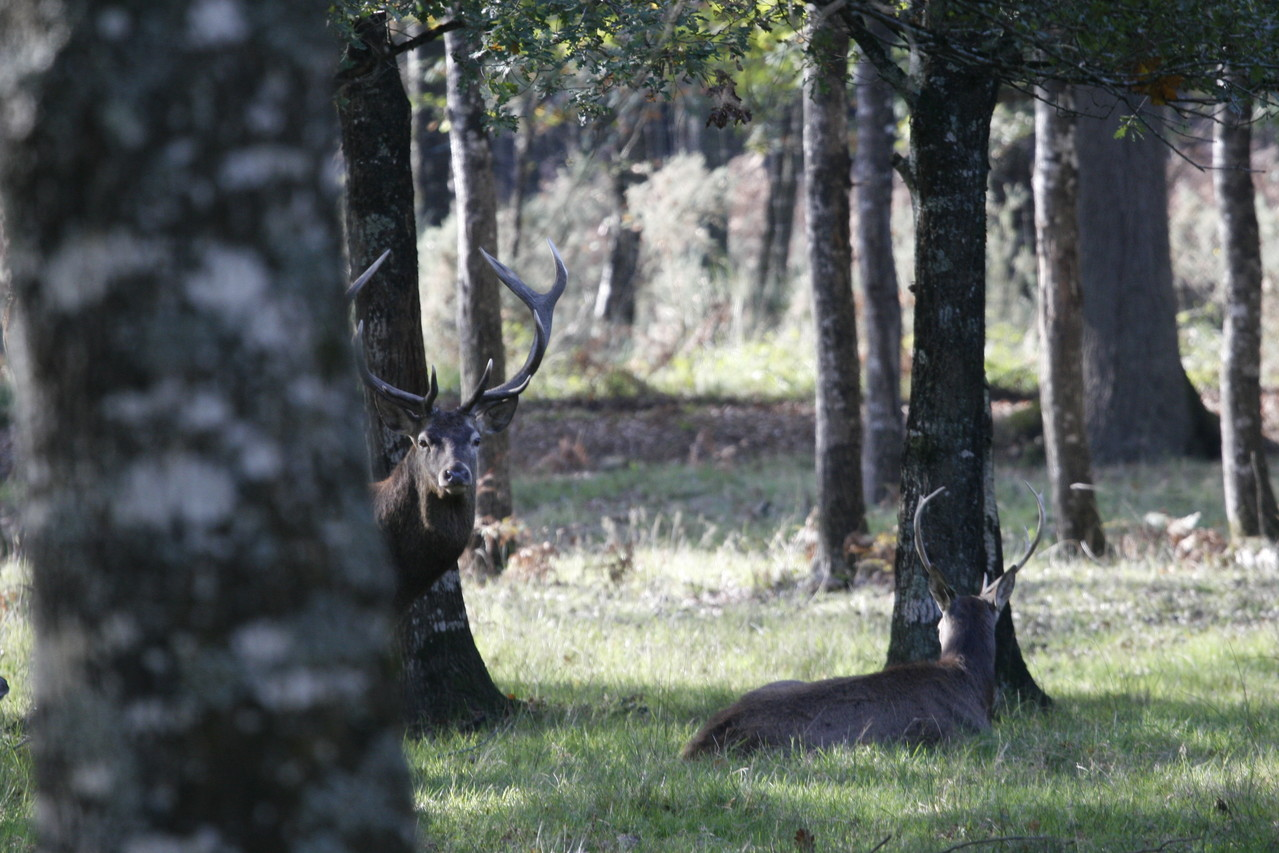 Cerf en en forêt de Chambord