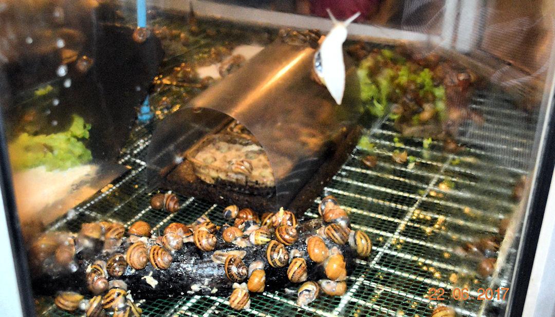 Un élevage d'escargots