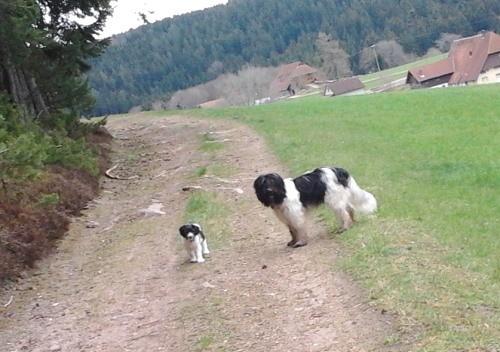 Schapendoeswelpe Snoep ist mit seinem Halbbruder unterwegs