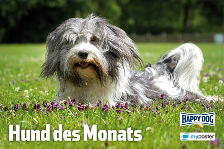 Schapendoesrüde Snoep wurde Hund des Monats bei Happy Dog