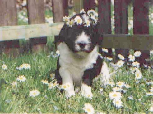 Schapendoes Bajule ist mein Blumenmädchen