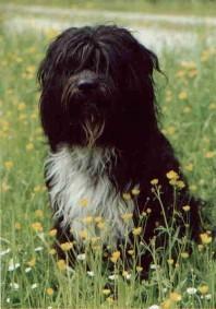das ist unser geliebter Schapendoes Chicco of Aiden Rud. Er wurde Vater von 27 Schapendoeswelpen
