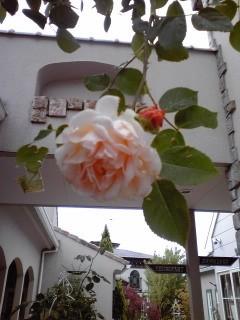 木の花美術館に咲く薔薇