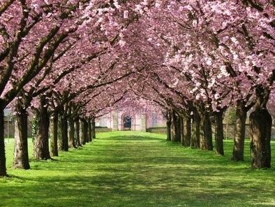 Allee blühender Kirschbäume vor Kirche