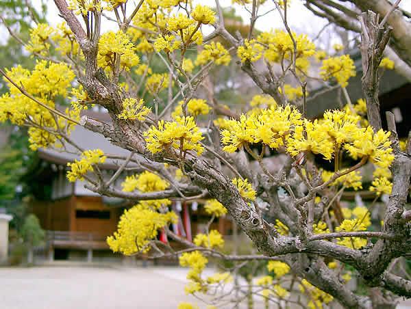 サンシュユ・三輪恵比寿神社