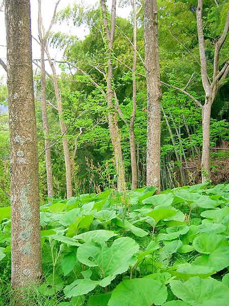 キハダとフキ畑・北山