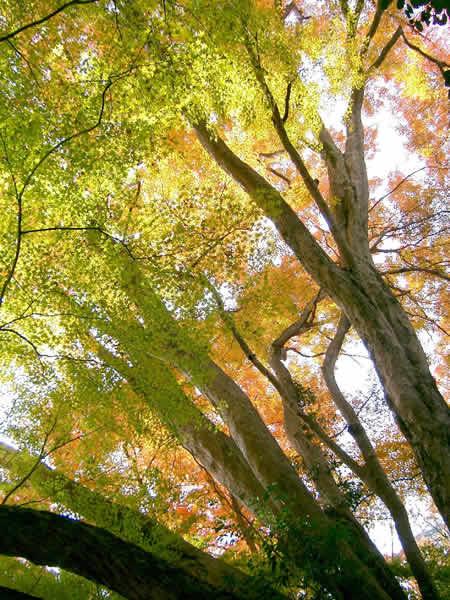 イロハモミジ3色・北白木