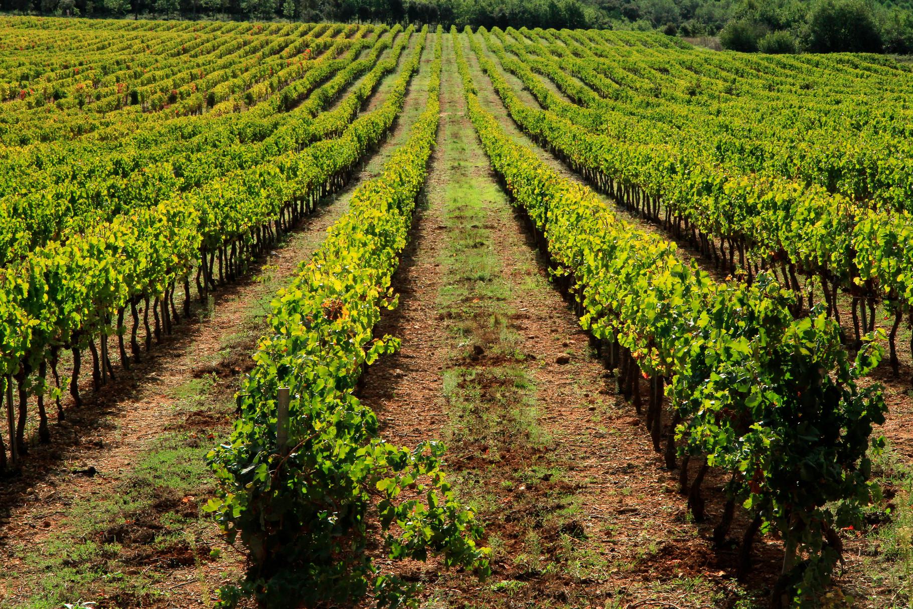 Vignes autour du Château La Martinette - Côtes de Provence