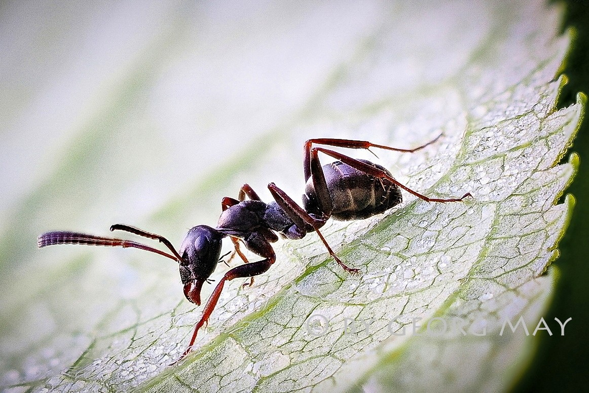 Schwarze Rossameise (Camponotus herculeanus)