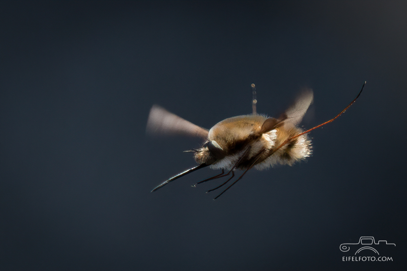 Wollschweber (ca. 20mm lang) im freien Flug.
