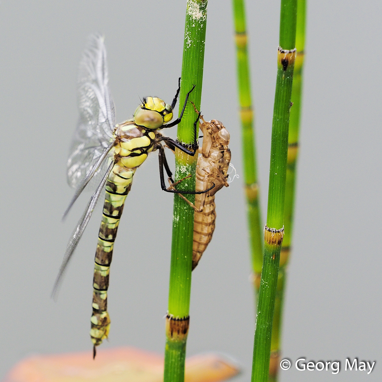 Ein letzter Blick - von der Larve zur Libelle