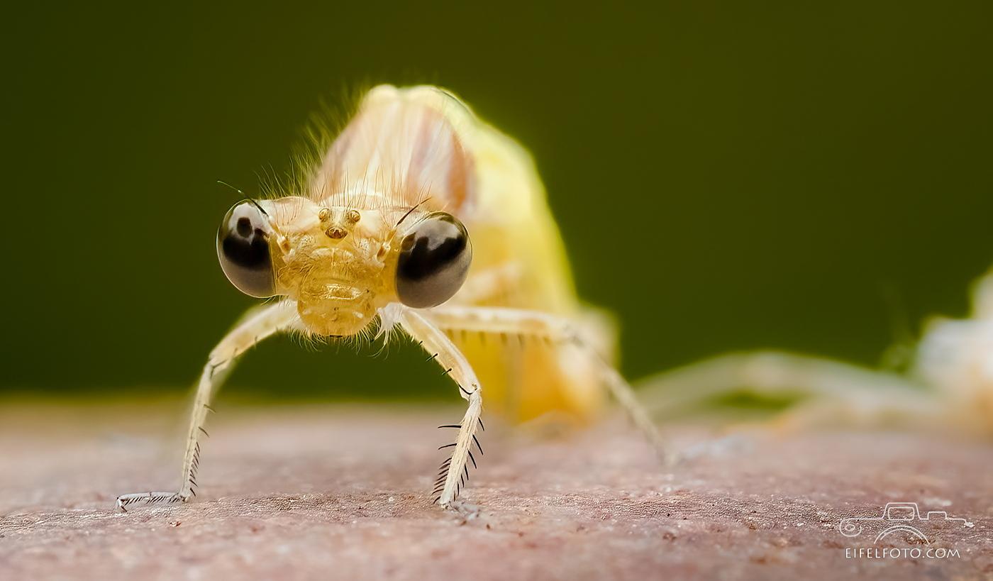 Nur 3-4 mm beträgt die Kopfbreite der frisch geschlüpften Kleinen Pechlibelle