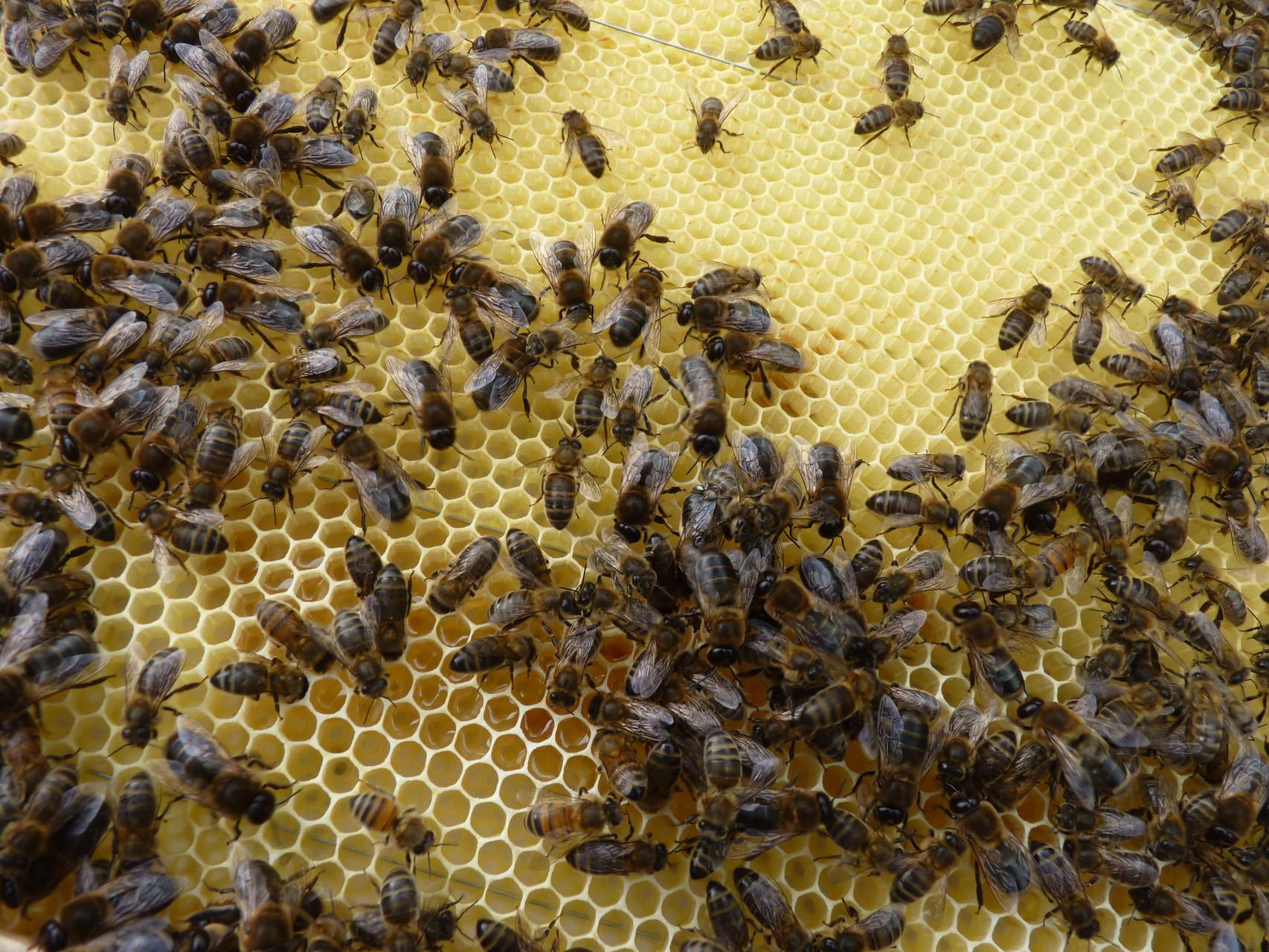 mon nouvel élevage: les abeilles noires