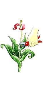 Июнь. Срезка увядающих цветков и уборка ящиков с тюльпана на дозревание.