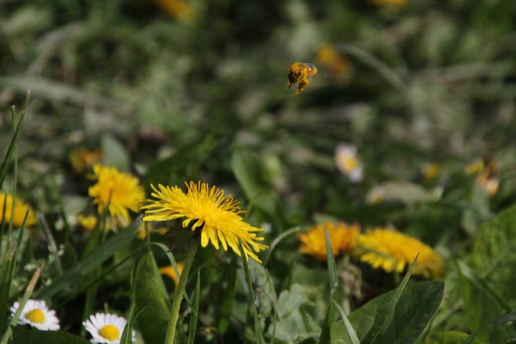 Biene in Löwenzahnblüte
