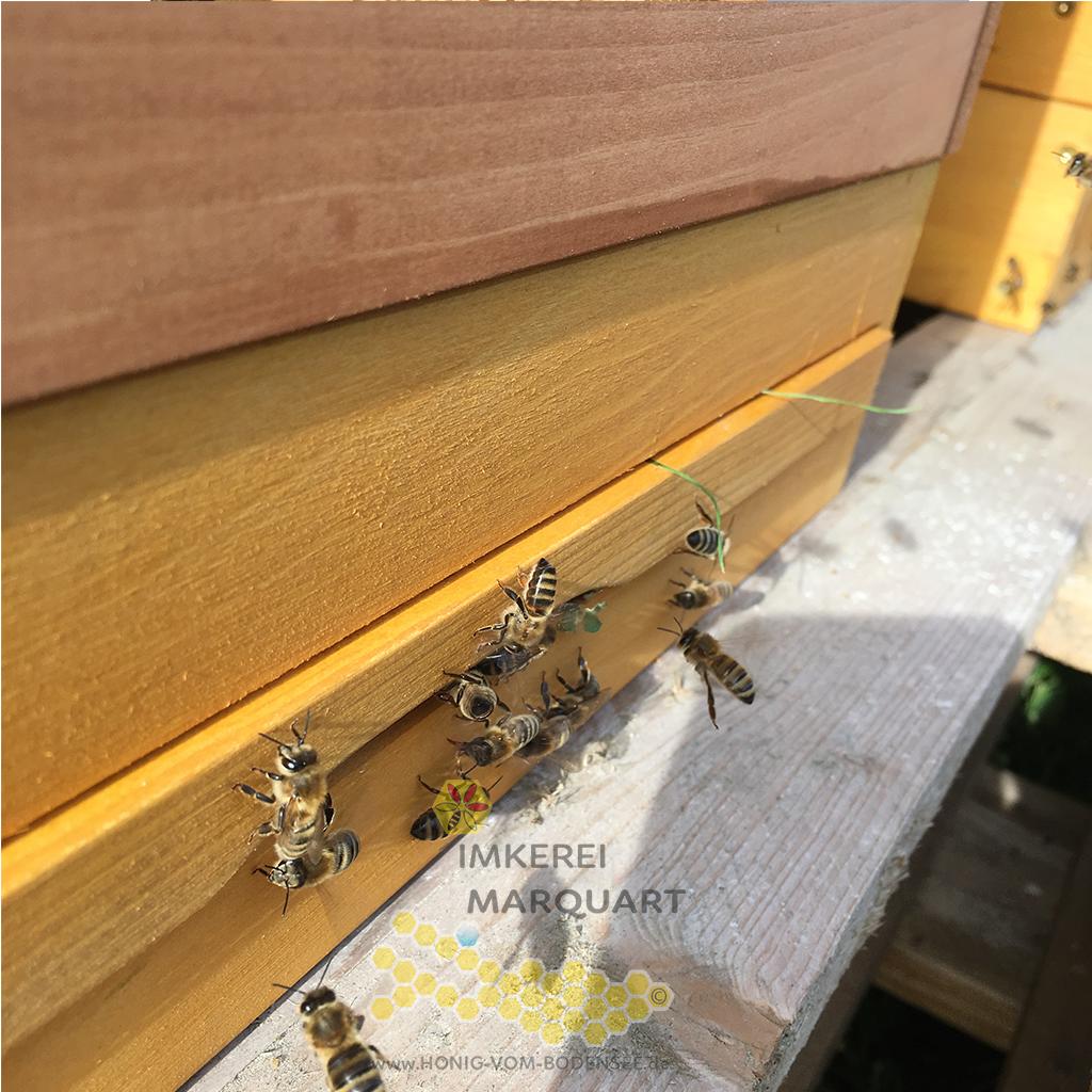 Bienen beim Anflug zur Bienenbeute