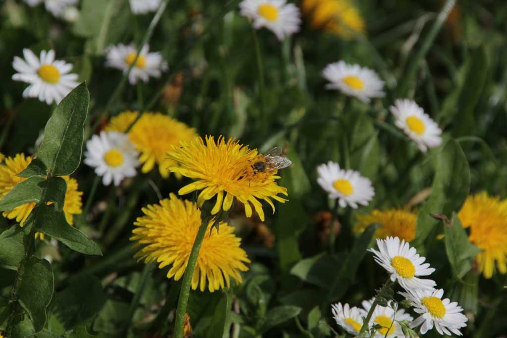 Löwenzahnblüte mit Arbeitsbiene