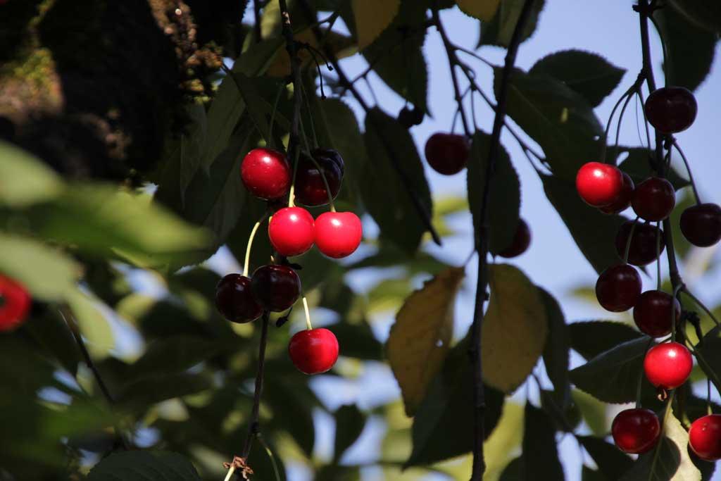 Sauerkirschen am Baum