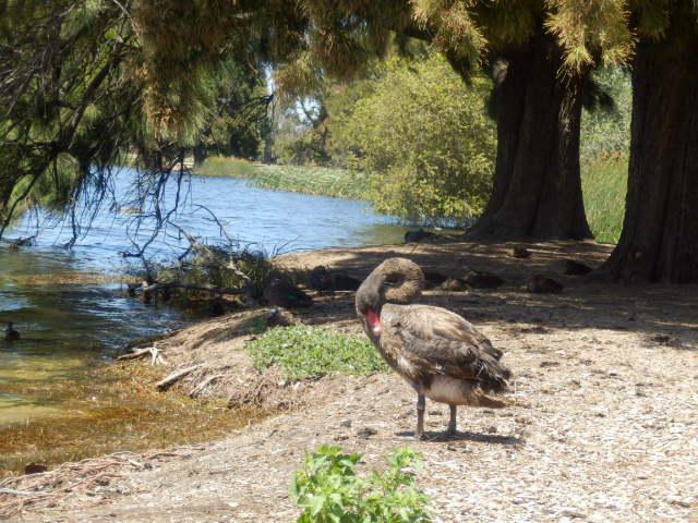 モンガー湖ではブラックスワンが普通に水浴びしています