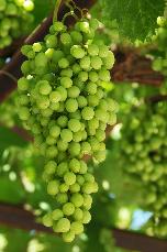 Uva trattata con zeolite chabasite