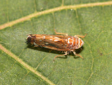 scaphoideus titanus