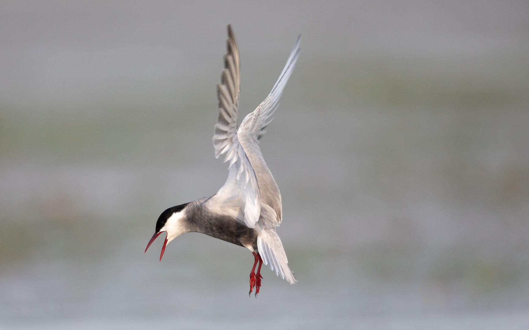 Weissbartseeschwalbe (Whiskered Tern)