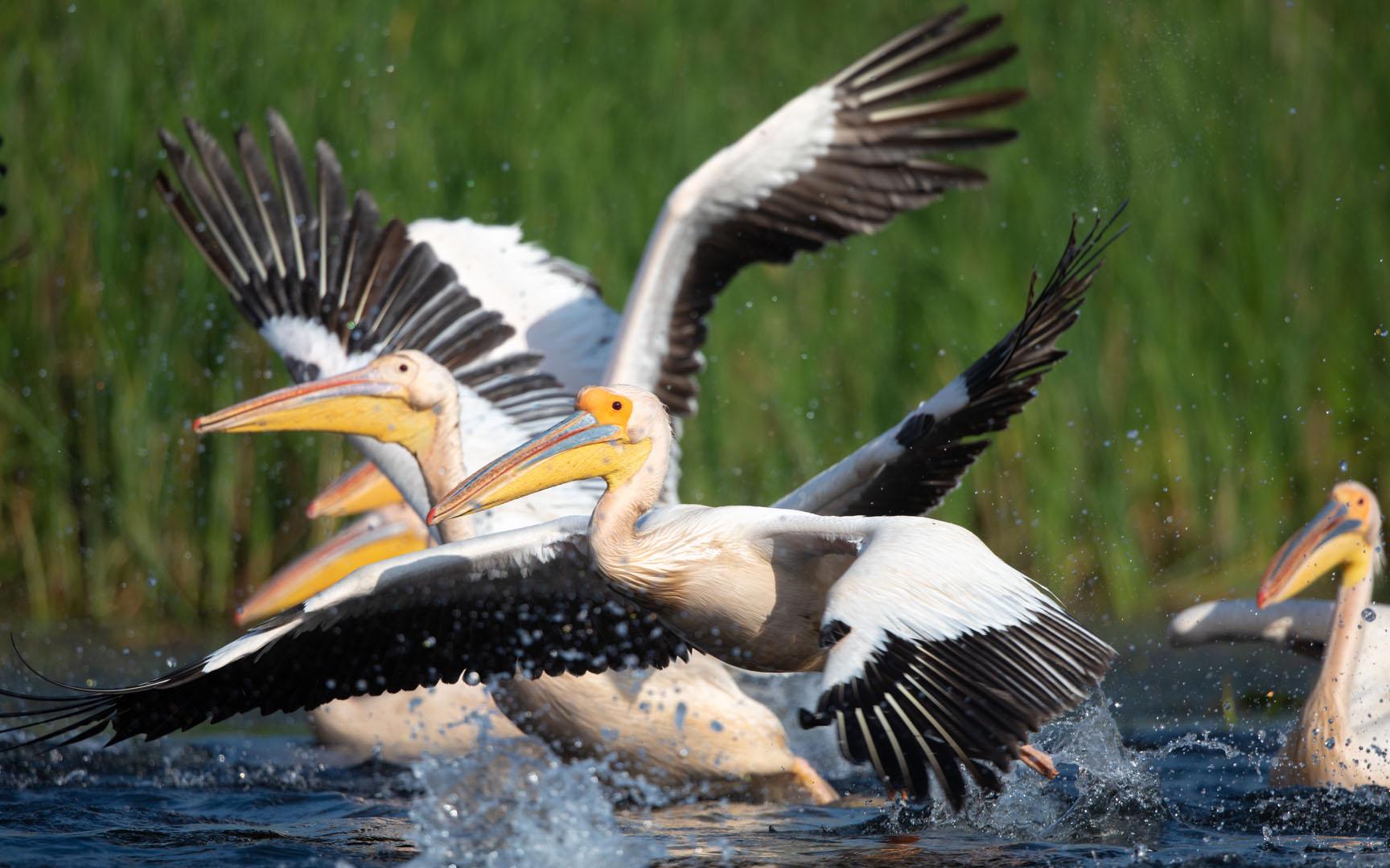 Rosa Pelikan (Pink Pelican)