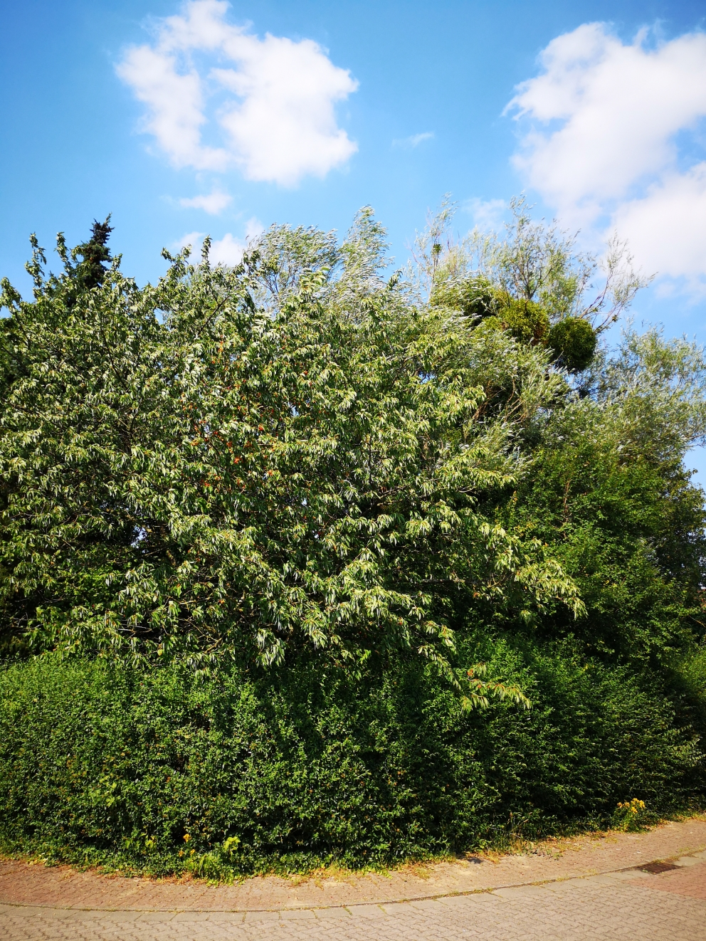 Kirschen, Äpfel - frisches Obst aus dem eigenen Garten.