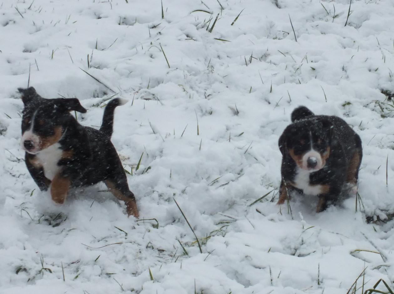 Sennenhunde im Schnee