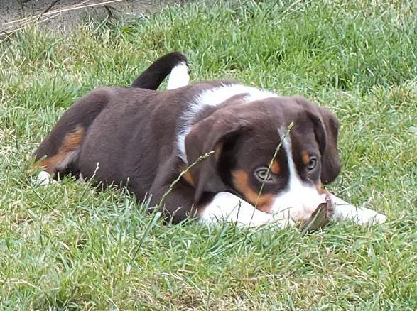 Bailey, Appenzeller aus dem Flößerdorf