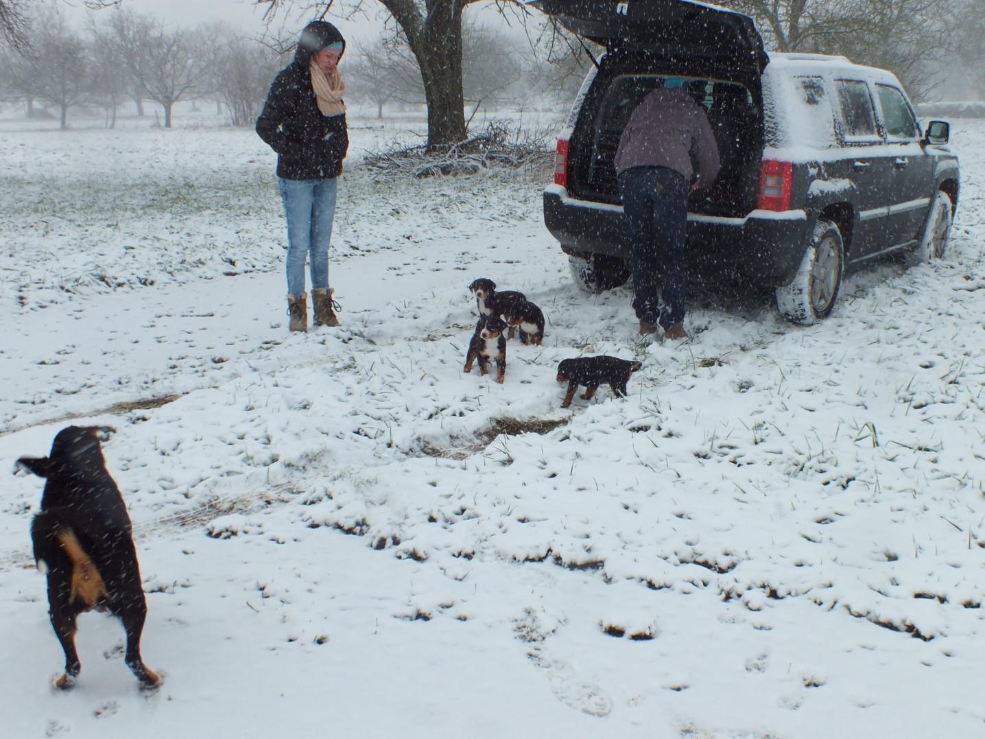 Appenzeller Welpen im Schnee
