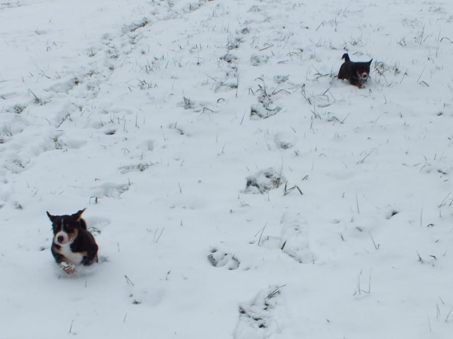 Appenzeller Welpen spielen im Schnee