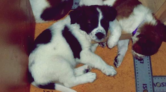 ca. 7½  Wochen alt; mit Bruder Barney