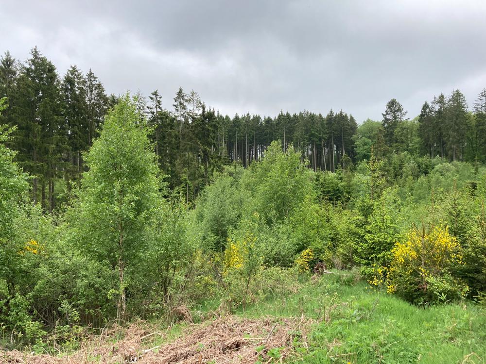 Entwicklung von Rodungsflächen zu naturnahem Laubwald