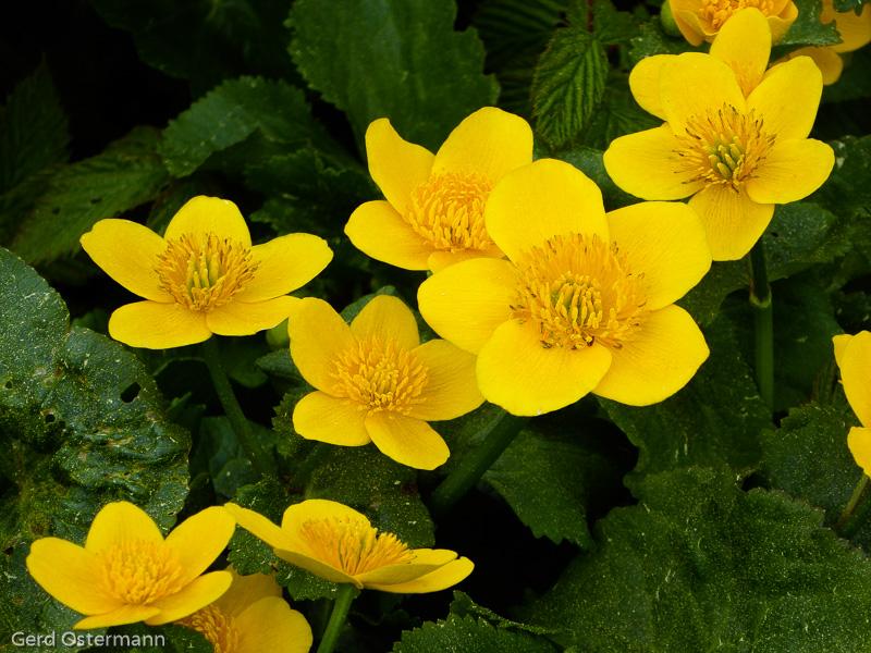 Blühende Sumpfdotterblume als Kennart der Nasswiesen